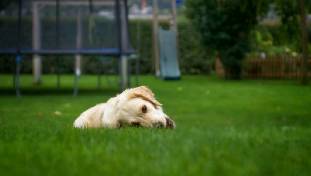 dog laying in artificial grass