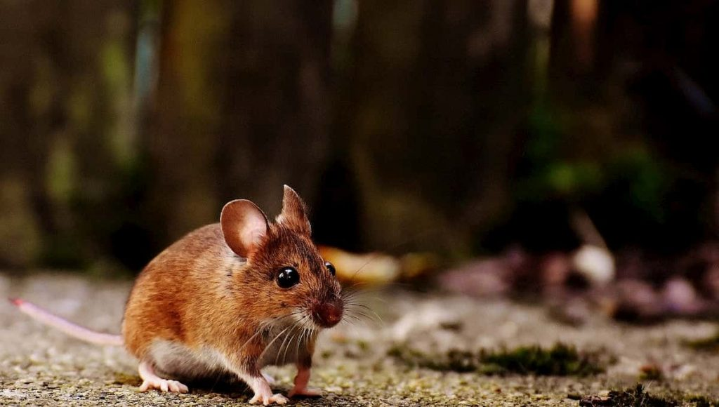 mouse running in a backyard