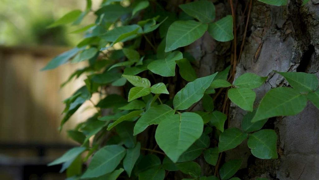 how to get rid of poison ivy without killing other plants