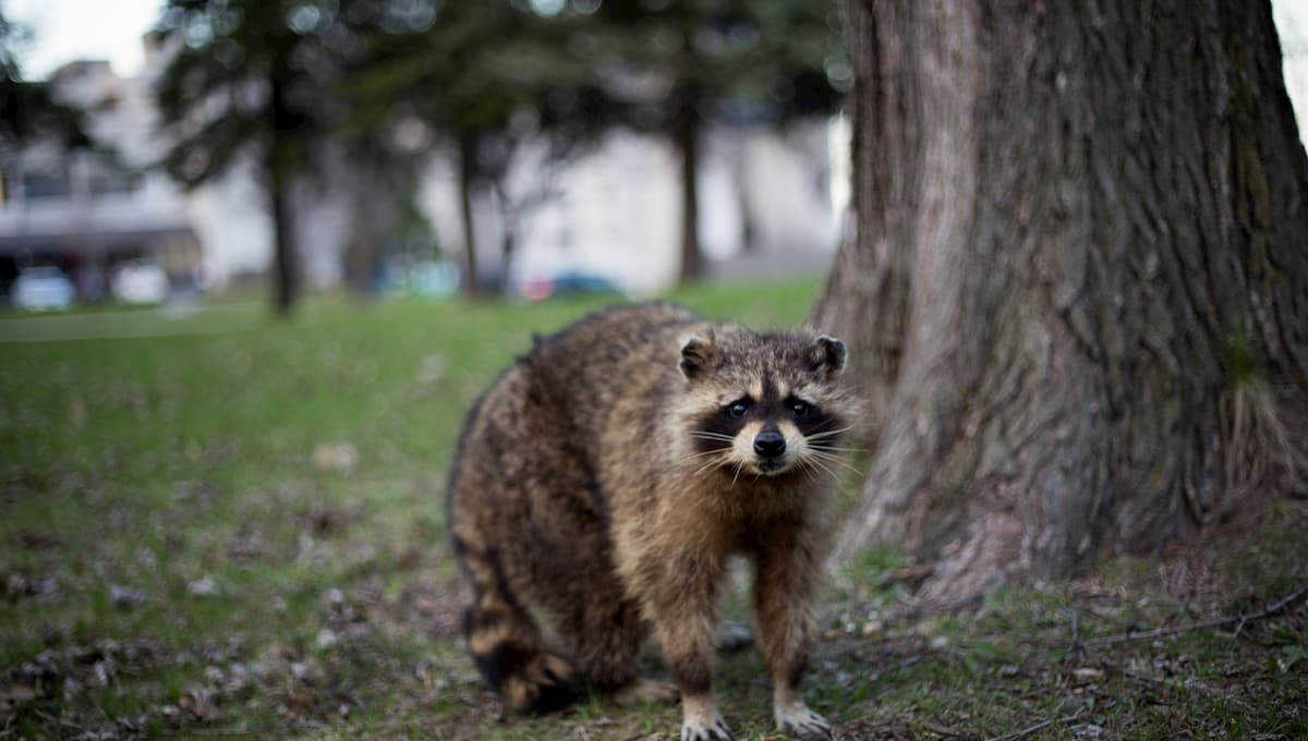 How To Get Rid Of Raccoons in the Yard Fast - Yard Blogger