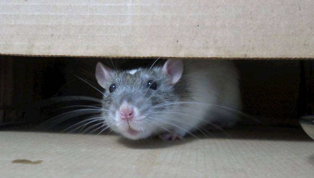 getting rid of mice in the garage