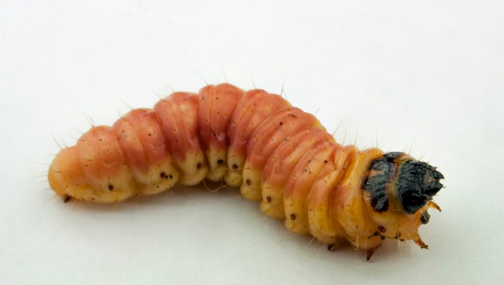 killing maggots with bleach